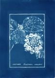 cyanotype005-for-web
